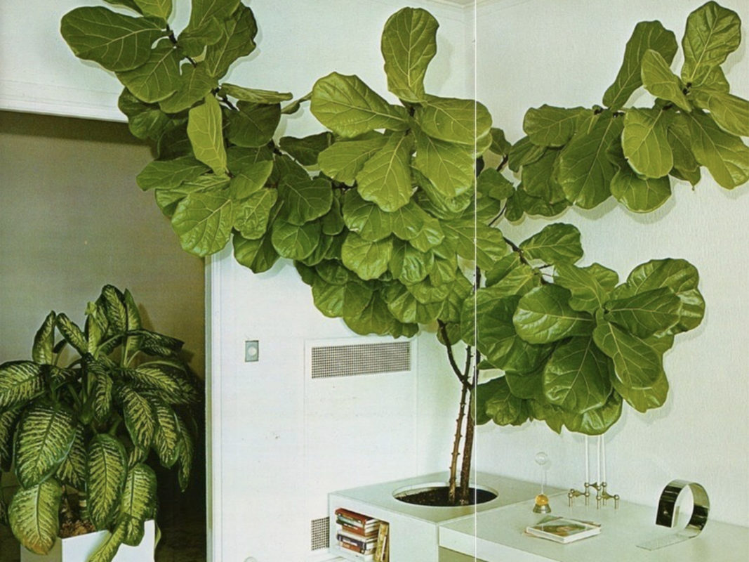 creative planting - fiddle leaf fig